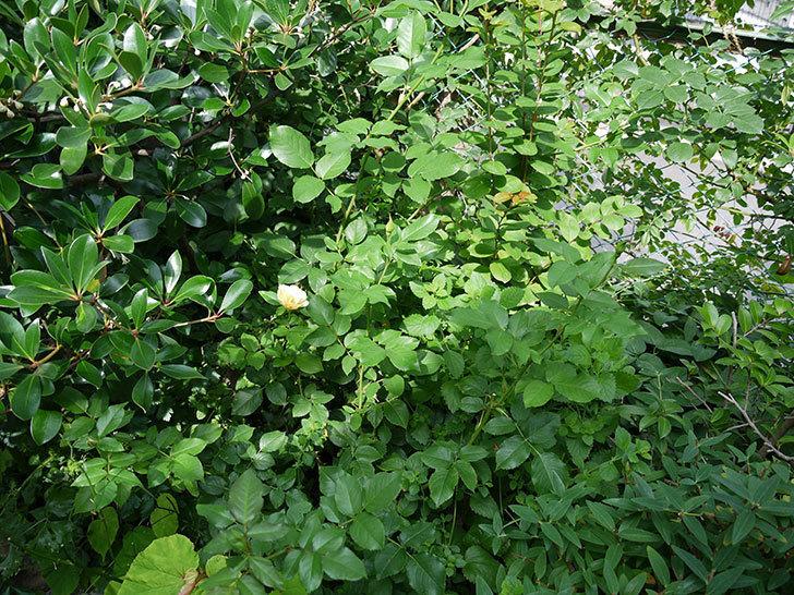 サプライズ(木立バラ)の2番花が咲いた。2017年-4.jpg