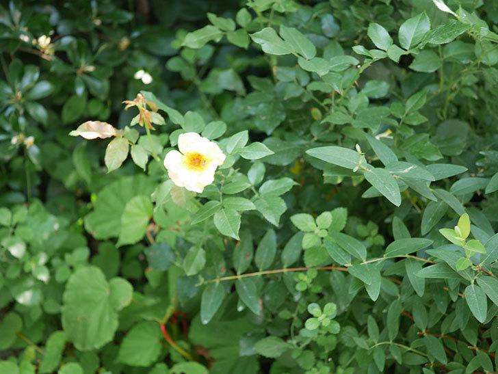 サプライズ(木立バラ)の2番花が咲いた。2018年-3.jpg
