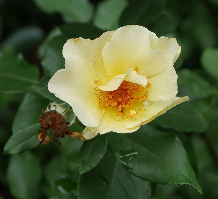 サプライズ(木立バラ)の2番花が咲いた。2019年-2.jpg