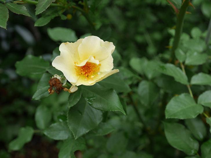サプライズ(木立バラ)の2番花が咲いた。2019年-3.jpg