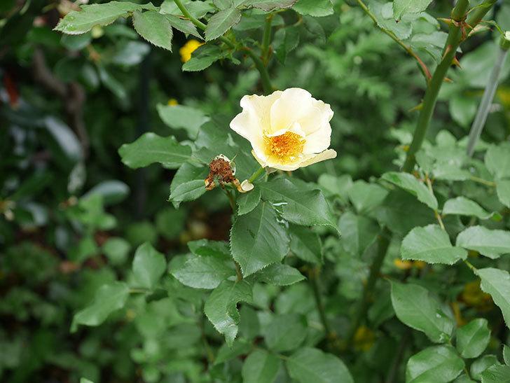 サプライズ(木立バラ)の2番花が咲いた。2019年-4.jpg