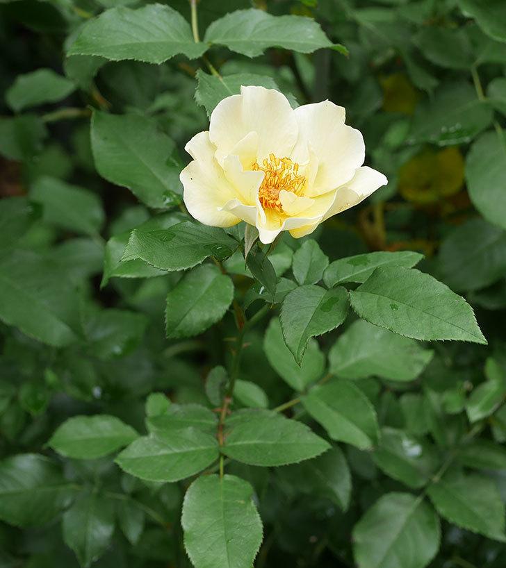 サプライズ(木立バラ)の2番花が咲いた。2019年-5.jpg