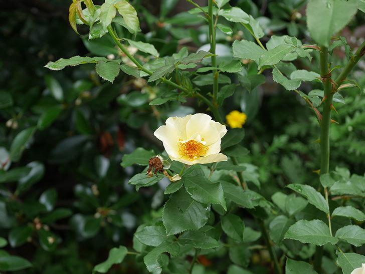 サプライズ(木立バラ)の2番花が咲いた。2019年-6.jpg