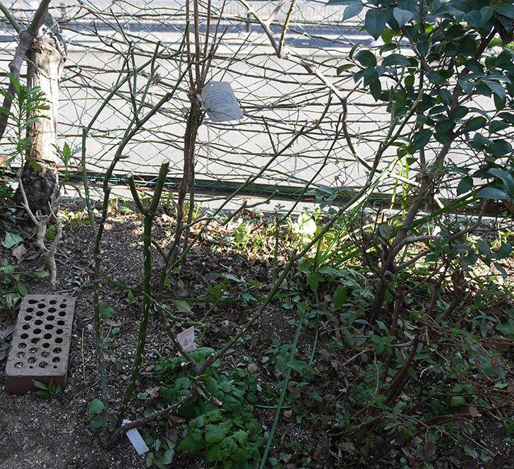 サプライズ(木立バラ)の冬剪定をした。2020年-1.jpg