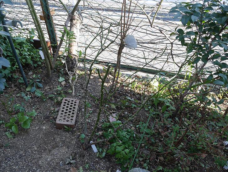 サプライズ(木立バラ)の冬剪定をした。2020年-4.jpg