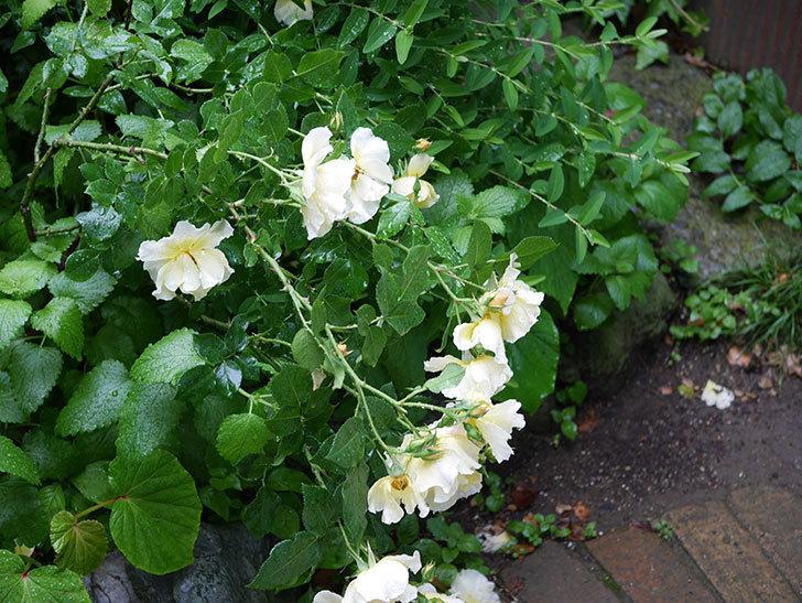 サプライズ(木立バラ)の枝が雨の重みで倒れてきた。2019年-1.jpg