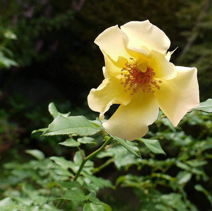 サプライズ(木立バラ)の秋花がまた咲いた。2016年-1.jpg