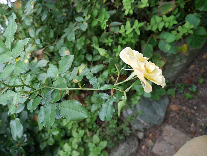 サプライズ(木立バラ)の秋花が咲いた。2018年-3.jpg