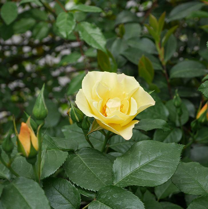 サプライズ(木立バラ)の花が1個咲いた。2019年-2.jpg