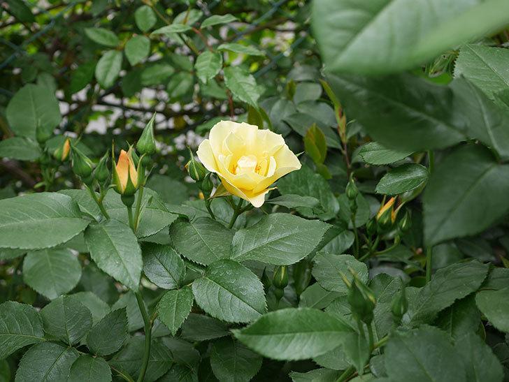 サプライズ(木立バラ)の花が1個咲いた。2019年-5.jpg