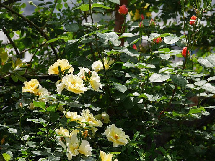 サプライズ(木立バラ)の花がたくさん咲いた。2019年-10.jpg