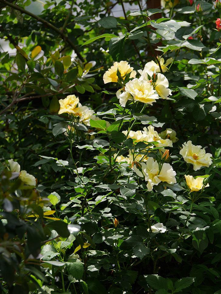 サプライズ(木立バラ)の花がたくさん咲いた。2019年-11.jpg