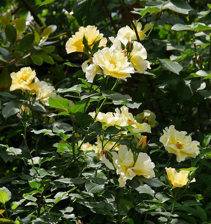 サプライズ(木立バラ)の花がたくさん咲いた。2019年-12.jpg