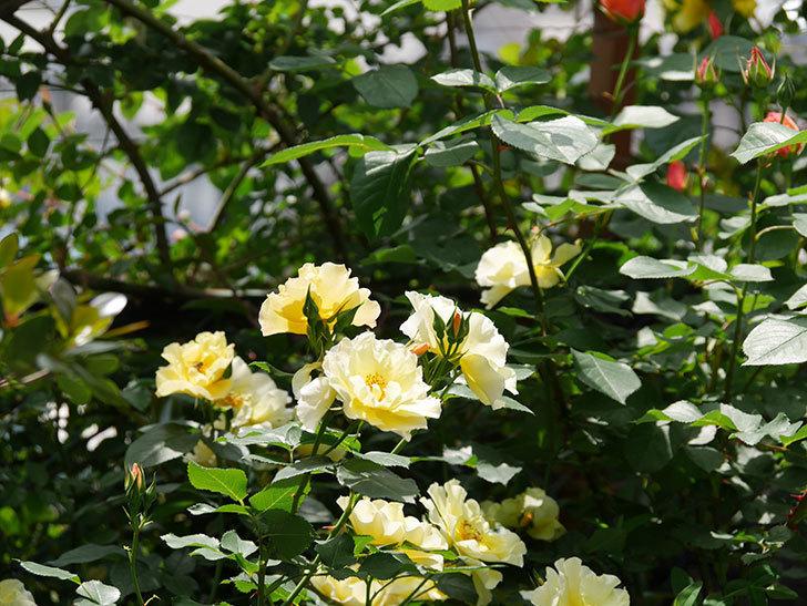 サプライズ(木立バラ)の花がたくさん咲いた。2019年-13.jpg