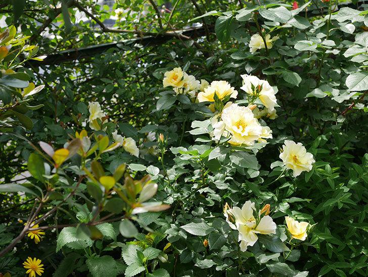 サプライズ(木立バラ)の花がたくさん咲いた。2019年-2.jpg