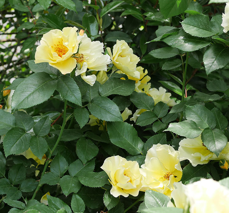 サプライズ(木立バラ)の花がたくさん咲いた。2019年-4.jpg