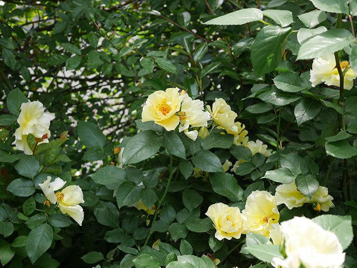 サプライズ(木立バラ)の花がたくさん咲いた。2019年-5.jpg