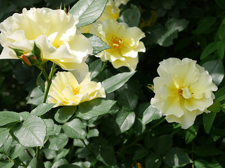 サプライズ(木立バラ)の花がたくさん咲いた。2019年-8.jpg