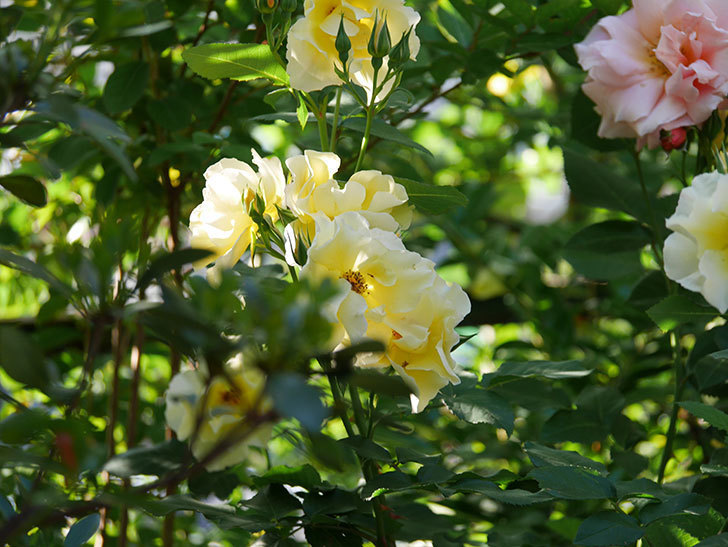 サプライズ(木立バラ)の花がたくさん咲いた。2020年-001.jpg