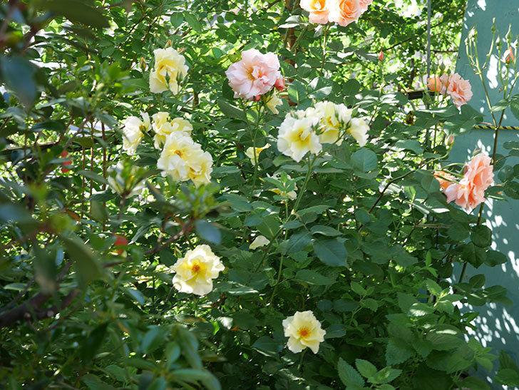 サプライズ(木立バラ)の花がたくさん咲いた。2020年-002.jpg