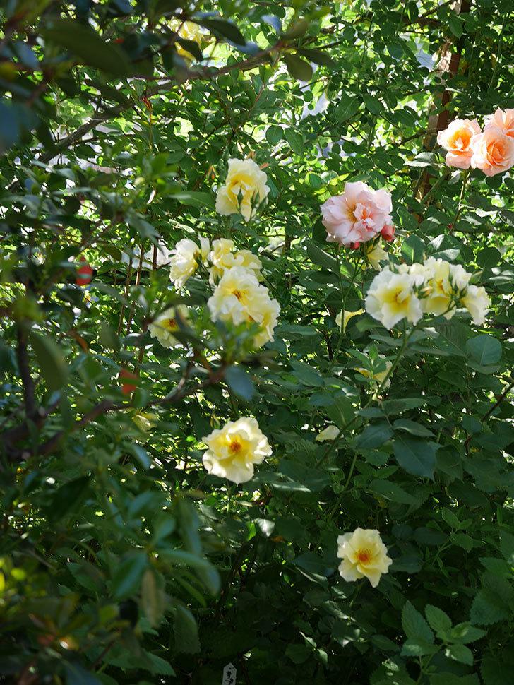 サプライズ(木立バラ)の花がたくさん咲いた。2020年-003.jpg