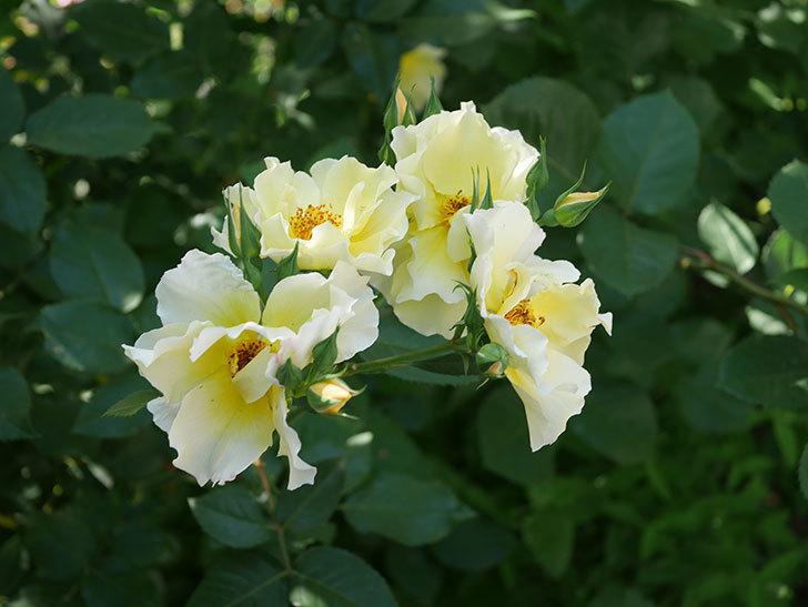 サプライズ(木立バラ)の花がたくさん咲いた。2020年-004.jpg