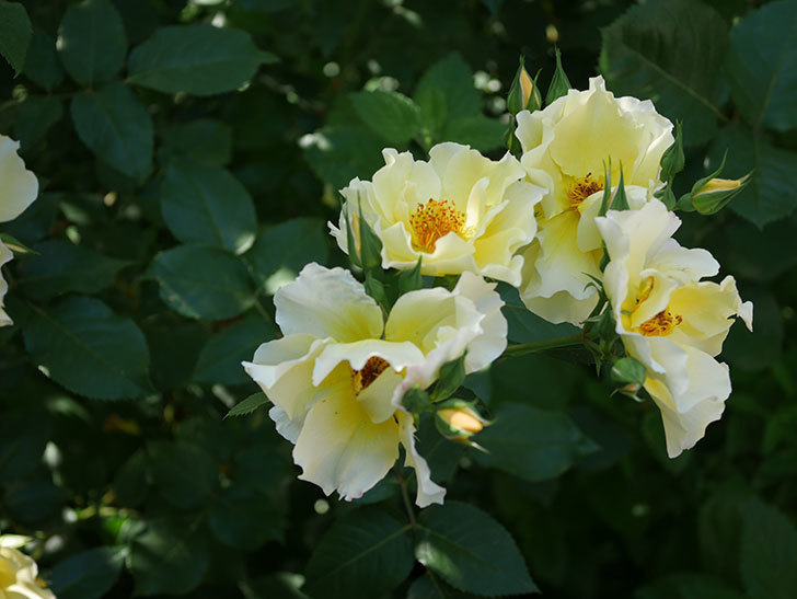 サプライズ(木立バラ)の花がたくさん咲いた。2020年-005.jpg