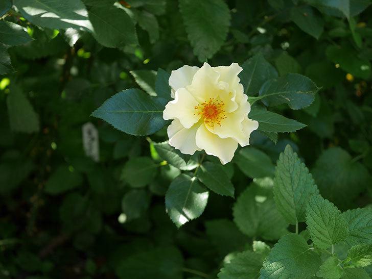 サプライズ(木立バラ)の花がたくさん咲いた。2020年-006.jpg