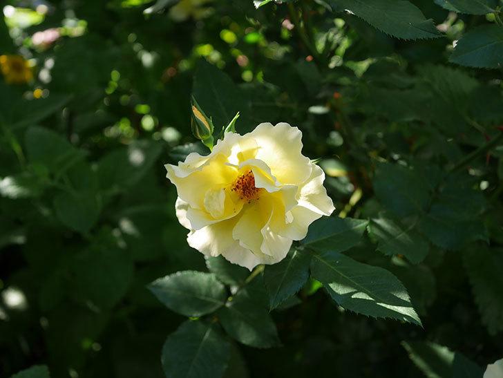 サプライズ(木立バラ)の花がたくさん咲いた。2020年-007.jpg