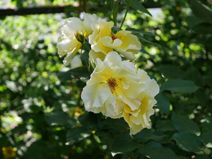 サプライズ(木立バラ)の花がたくさん咲いた。2020年-008.jpg