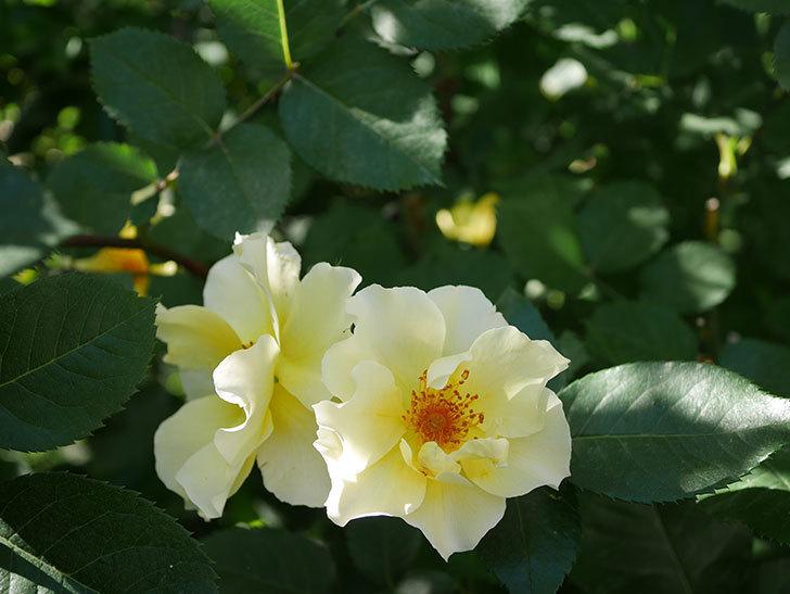 サプライズ(木立バラ)の花がたくさん咲いた。2020年-009.jpg