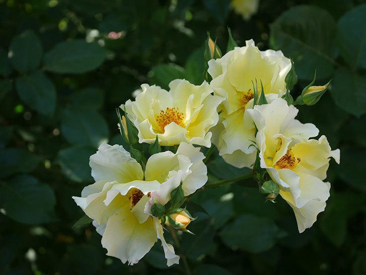 サプライズ(木立バラ)の花がたくさん咲いた。2020年-010.jpg