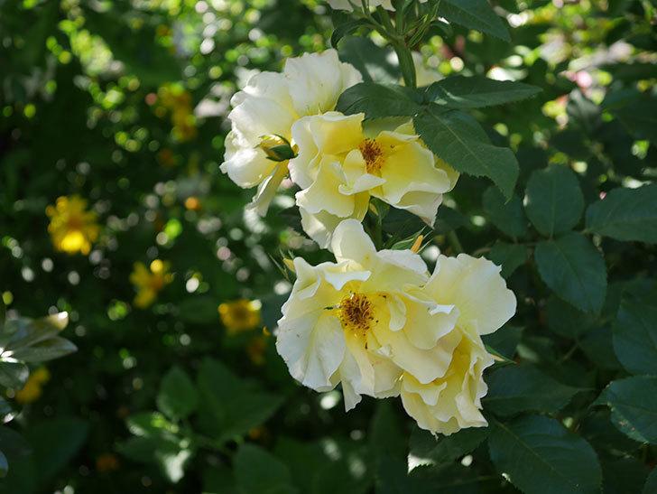 サプライズ(木立バラ)の花がたくさん咲いた。2020年-011.jpg