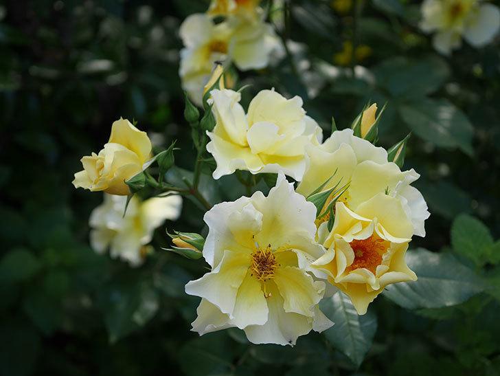 サプライズ(木立バラ)の花がたくさん咲いた。2020年-013.jpg