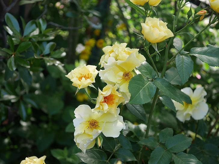 サプライズ(木立バラ)の花がたくさん咲いた。2020年-014.jpg