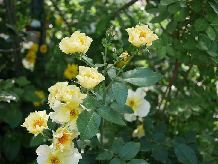 サプライズ(木立バラ)の花がたくさん咲いた。2020年-015.jpg