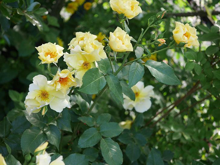 サプライズ(木立バラ)の花がたくさん咲いた。2020年-016.jpg