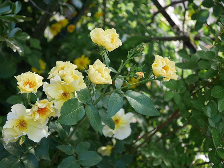 サプライズ(木立バラ)の花がたくさん咲いた。2020年-017.jpg