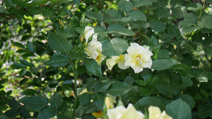 サプライズ(木立バラ)の花がたくさん咲いた。2020年-018.jpg