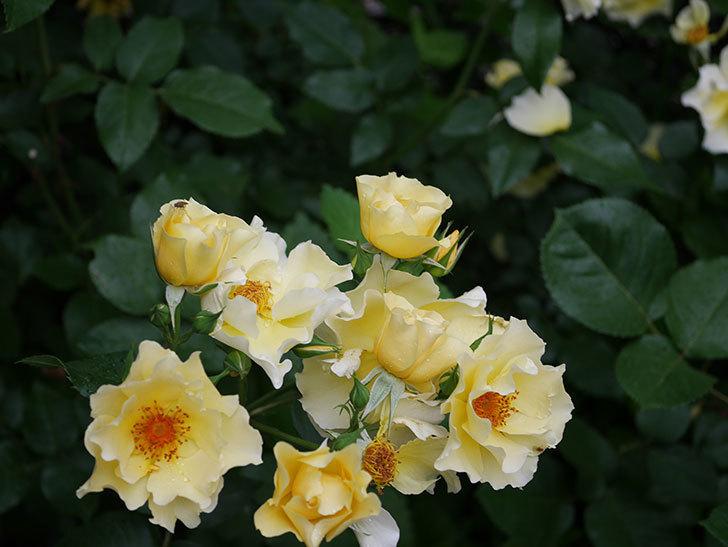 サプライズ(木立バラ)の花がたくさん咲いた。2020年-019.jpg