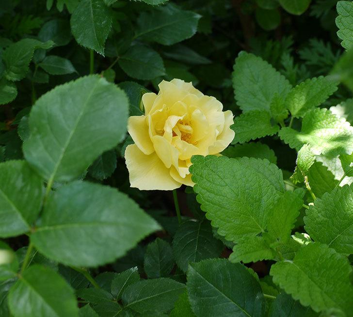 サプライズ(木立バラ)の花が咲いた。2017年-2.jpg