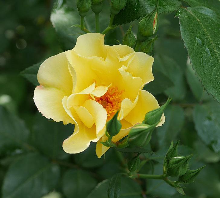 サプライズ(木立バラ)の花が咲いた。2020年-1.jpg