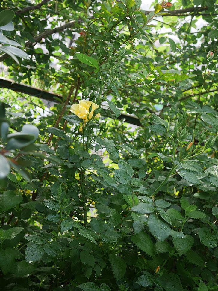 サプライズ(木立バラ)の花が咲いた。2020年-3.jpg