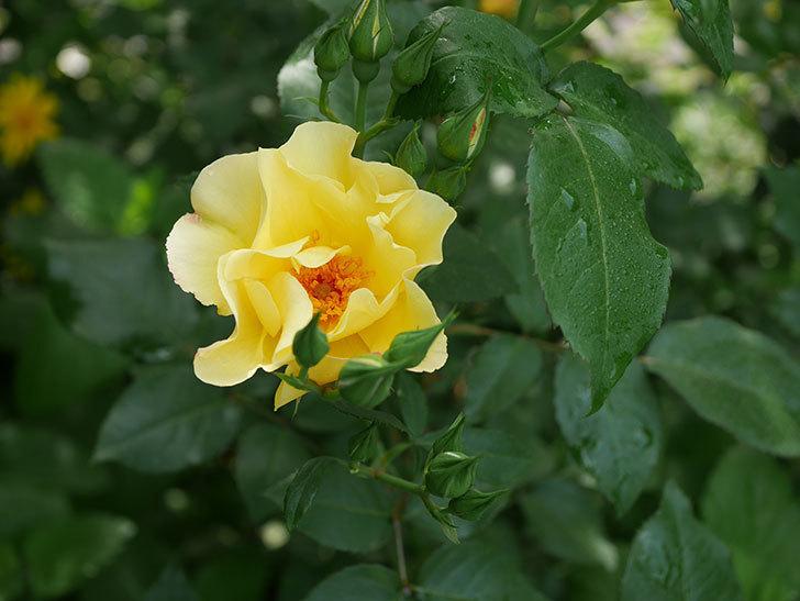 サプライズ(木立バラ)の花が咲いた。2020年-4.jpg