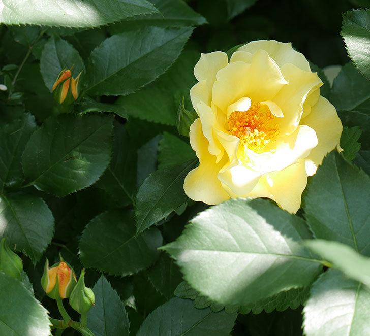 サプライズ(木立バラ)の花が増えて来た。2018年-10.jpg