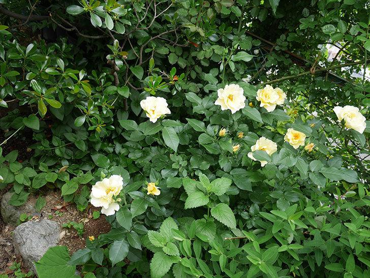サプライズ(木立バラ)の花が増えて来た。2018年-13.jpg