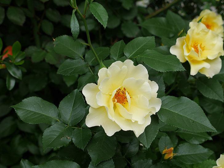 サプライズ(木立バラ)の花が増えて来た。2018年-14.jpg