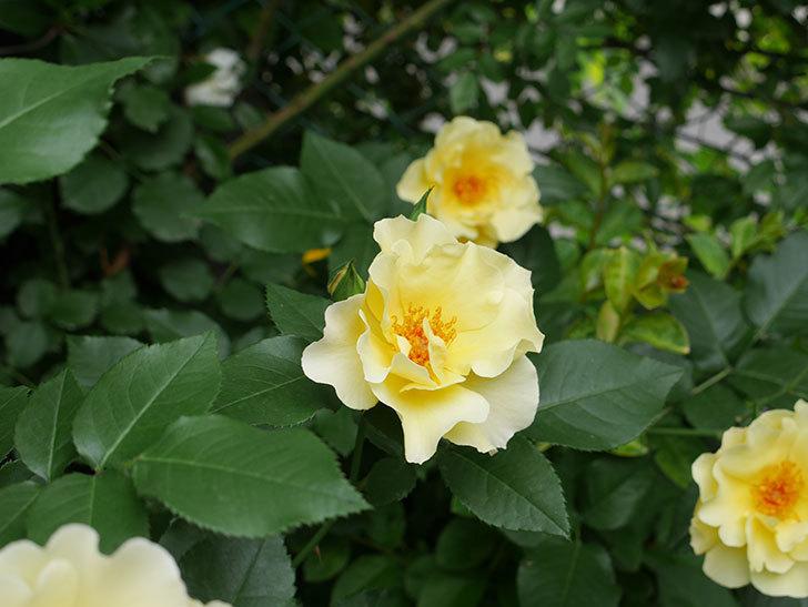 サプライズ(木立バラ)の花が増えて来た。2018年-16.jpg