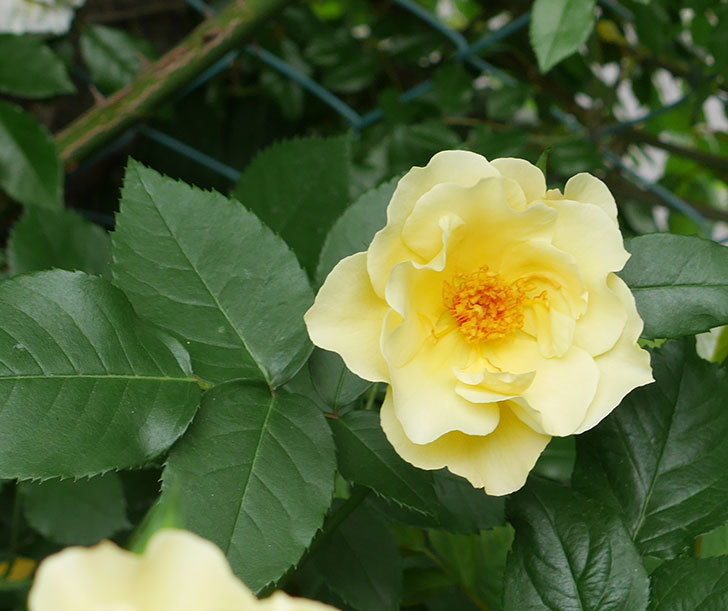 サプライズ(木立バラ)の花が増えて来た。2018年-17.jpg