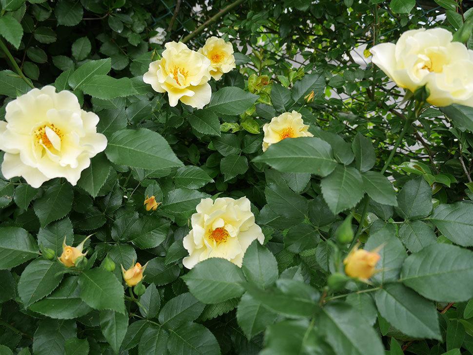 サプライズ(木立バラ)の花が増えて来た。2018年-18.jpg